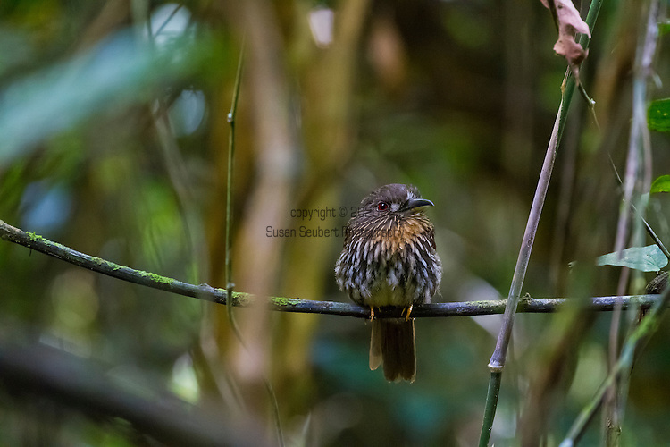 Barro Colorado Island, a site for the study of lowland moist tropical forests owned by the Smithsonian Tropical Research Institute in the Panama Canal and is part of the Barro Colorado Nature Monument. A white whiskered puffbird.