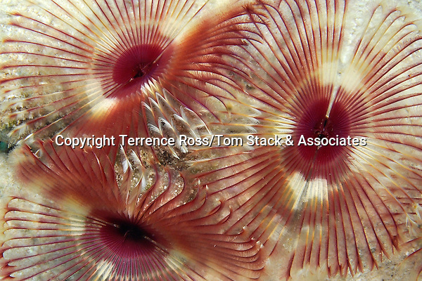 Anamobaea onstedii, the Split-Crown Feather Duster worm, Bonaire.