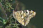 Painted Lady Butterfly, Cynthia cardui, adult, side view showing underside of wings, on stinging nettle.United Kingdom....