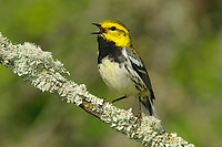 Adult male Black-throated Green Warbler (Dendroica virens) in breeding plumage singing. Alberta, Canada. June.