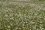 Field of Oxeye Daisy, Leucanthemum vulgare, Kemsing Down, Kent Wildlife Trust Nature Reserve, UK, meadow, daisies