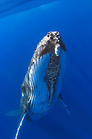 humpback whale, Megaptera novaeangliae, adult female with colony of acorn barnacles, Cornula diaderma,  under chin, Big Island, Hawaii, Pacific Ocean