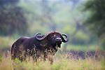 Tanzania, Tarangire National Park, Cape buffalo (Syncerus caffer)