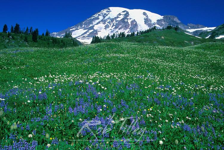 USA, WA, Mt. Rainier NP, Lupine & Mt. Rainier