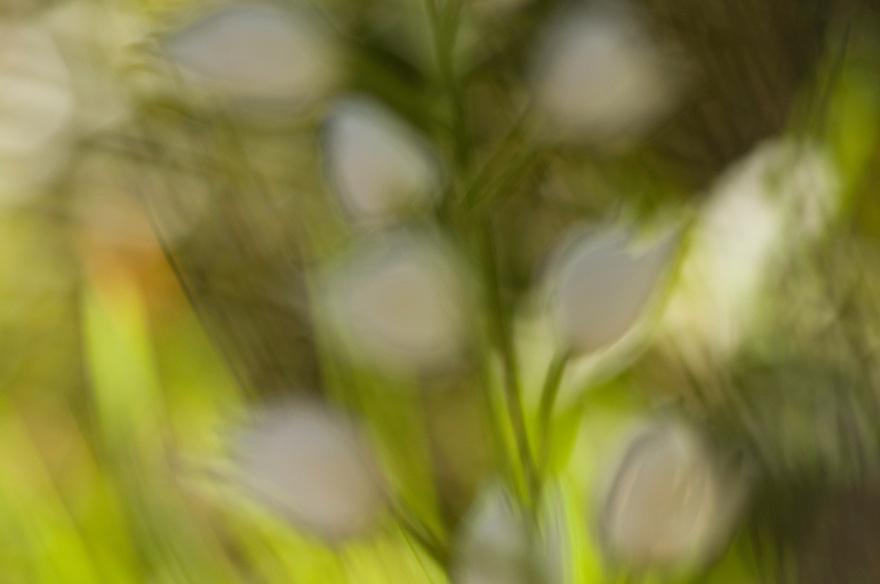 Apulia; Gargano National Park; Gargano Peninsula; Italy; Long-leaved Helleborine; Cephalanthera longifolia; Monte Sacro