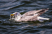A California gull takes a bath, repeatedly dunking its head then raising it, dripping water from its bill, before vigorously shaking, end to end.