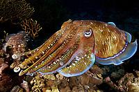 A large pharaoh cuttlefish ( Sepia pharaonis ) at Richelieu Rock, Andaman Sea, Surin National Park, Thailand