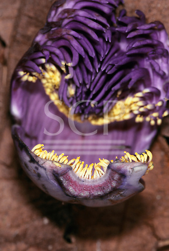 Tataquara, Amazon, Brazil. Purple sapucaia flower.