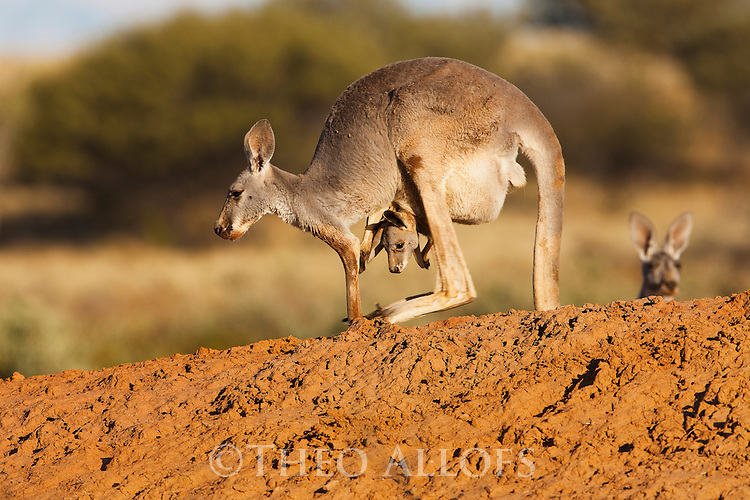 Australia,  NSW, Sturt National Park; red kangaroo female hopping with joey in pouch (Macropus rufus); the red kangaroo population increased dramatically after the recent rains in the previous 3 years following 8 years of drought