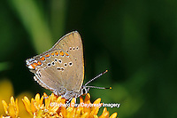 03152-00411 Coral Hairstreak butterfly  (Satyrium titus) on Butterfly Milkweed (Asclepias tuberosa) Marion Co. IL