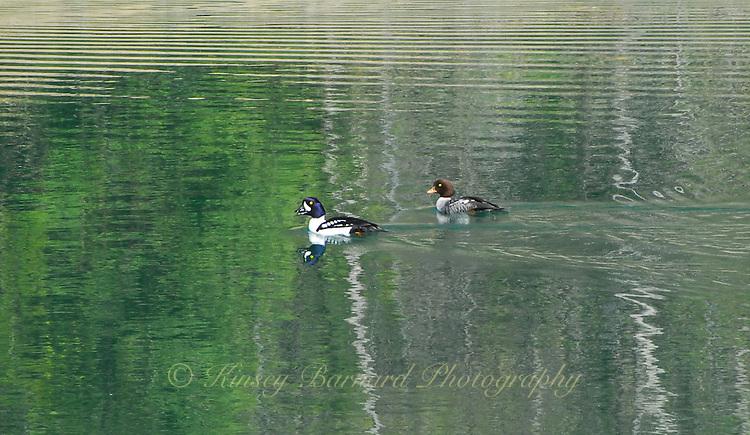 Goldeneye ducks