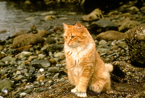 Cat sitting on Maine beach, yellow tabby
