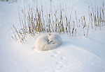 An arctic fox curls up next to a clump of grass for protection against he wind and cold in Wapusk National Park, Manitoba, Canada.