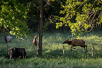 Elk in Boxley Vally along the Buffalo National River in Arkansas.