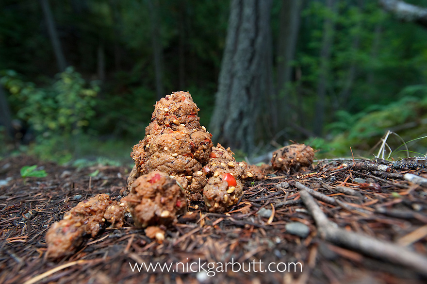 Droppings of Grizzly Bear (Ursus arctos horribilis) in forests along the Atnarko River, Tweedsmuir Park, British Columbia, Canada
