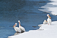 White Pelicans, Oxbow Bend, Grand Teton National Park