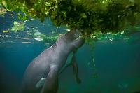 Amazonian manatee, Trichechus inunguis ( c ), feeding on floating aquatic vegetation, INPA/LMA, Amazonas, Brazil