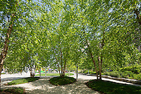 Birches on the Greenway, Boston, MA