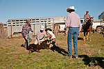 Calf marking and doctoring with the Dell'Orto outfit, Goodell Ranch, Paloma, Calif.