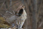 Ruffed grouse drumming wings to attract a mate