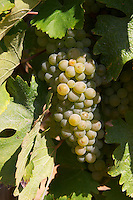 Chenin Blanc. Vouvray village, Touraine, Loire, France