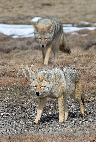 Coyotes are one of Yellowstone's common winter residents.