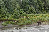Brown bear along the coast, Glacier Bay National Park, Southeast, Alaska