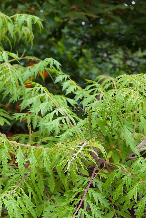 Rhus typhina 'Laciniata' sumac
