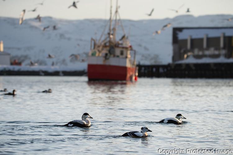 Ærfugl og stellarand i havna i Båtsfjord. ---- Common eider and stellars eider in Båtsfjord harbour.