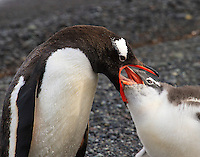A Gentoo penuin feeding her chick with regurgitated food on Aitcho Island, Antarctica.