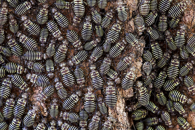 A large number of Bark Lice congregate on a Maple-leaved Sycamore.