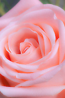 Rose stock photo, Rosa coral pink, macro closeup of petals, soft focus, luminous glow, entire frame filled