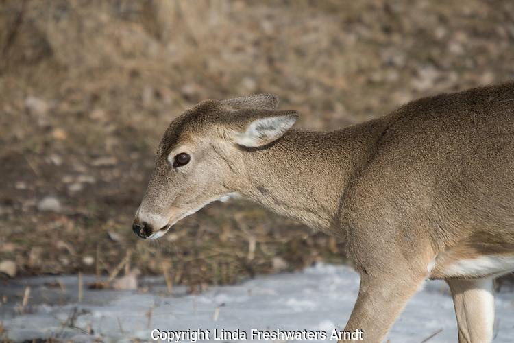 White-tailed doe in spring