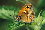 Gatekeeper Butterfly, Pyronia tithonus, on leaf showing underside of wings, pattern and spots.United Kingdom....