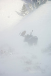 A bull moose stands in the deep and blowing snow on the sagebrush flats in Grand Teton National Park, Wyoming.
