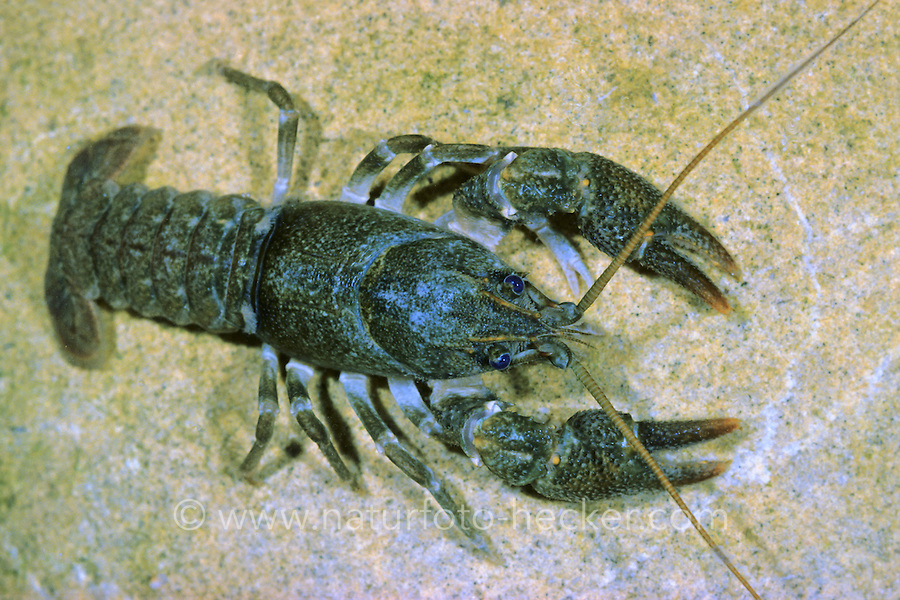 Steinkrebs, Bachkrebs, Austropotamobius torrentium, Astacus saxatilis , stone crayfish, L'écrevisse de torrent