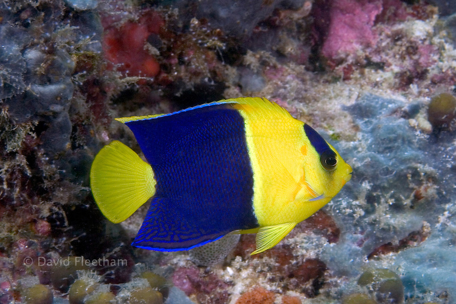 The bicolor angelfish, Centropyge bicolor, reaches six inches in length.  Common in many areas this species stays close to sections of the reef that provide shelter.  Malaysia.