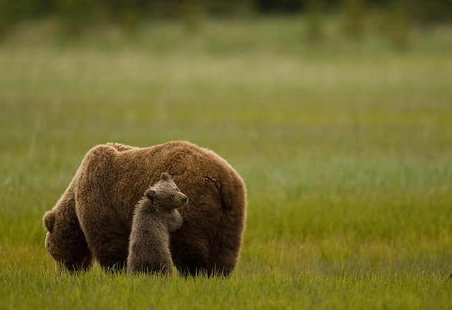 A brown bear cub leans on his mother for security in a coastal meadow in Lake Clark National Park, Alaska, June 24, 2008.  Photo by Gus Curtis.