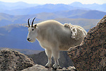 Mountain Goat (Oreamnos americanus) on the slopes of Mount Evans (14250 feet), Rocky Mountains, west of Denver, Colorado, USA Wildlife  photo tours to Mt Evans. .  John leads private, wildlife photo tours throughout Colorado. Year-round.