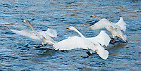 Tundra swans landing on the Sai River in late winter during their yearly migration, Nagano, Japan.