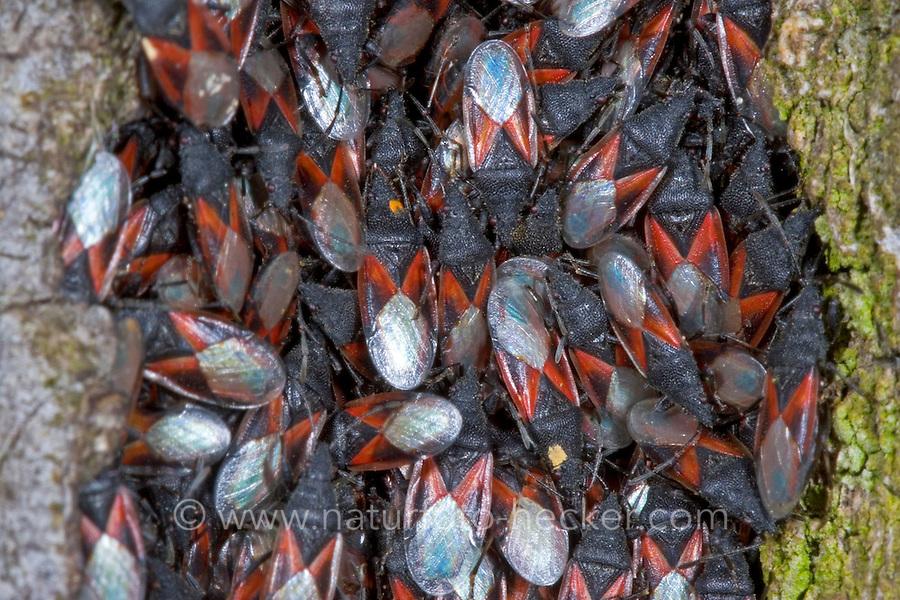 Lindenwanze, Malvenwanze, Oxycarenus lavaterae, Mallow Seed Bug, Lime seed bug, ground bug, Bodenwanzen, Langwanzen, Lygaeidae, milkweed bugs, seed bugs