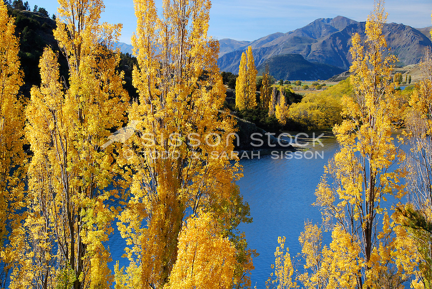 Autumn poplar trees next to Lake Wanaka, South Island, New Zealand