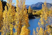Autumn poplar trees next to Lake Wanaka, South Island, New Zealand