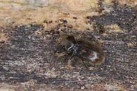 Sägekäfer, Heterocerus spec., variegated mud-loving beetle, Heteroceridae, variegated mud-loving beetles
