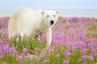 polar bear, Ursus maritimus, strolling and foraging in a field of wild fireweed flowers, Epilobium angustifolium, on sub-arctic island at Hubbart Point, Hudson Bay, near Churchill, Manitoba, Canada, Atlantic Ocean