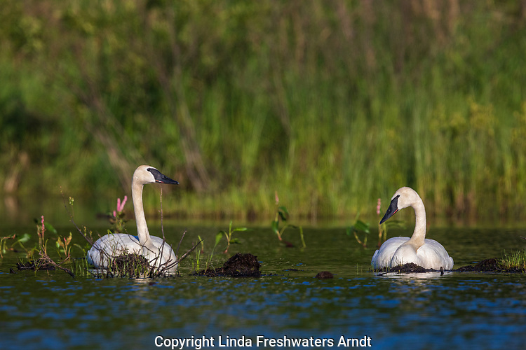 Trumpter swans resting on a mud flat in northern Wisconsin.