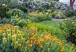 Indianola, WA: Summer perennial garden featuring orange poppies, euphorbia, roses, and lupine