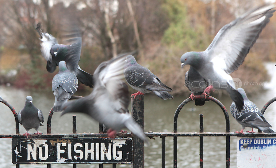 20/01/2010 .Pigeons at Blessington St Basin, Dublin. Photo: Gareth Chaney Collins