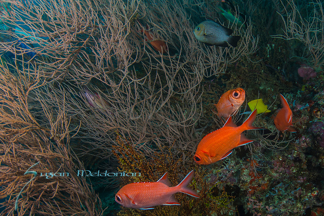 Blackbar Soldierfish, Myripristis jacobus, Squirrelfish family