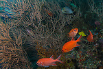 Blackbar Soldierfish, Myripristis jacobus, Squirrelfish family